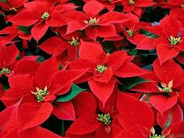 christmas flowers christmas flowers wallpaper 8055 open walls on imgfave