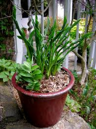 Best Flowers For Small Pots Miniature U0026 Small Hostas Carolyn U0027s Shade Gardens