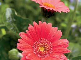 gerbera plant gerbera daisies here today tomorrow southern living