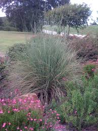 native grass plants signature gardens grasses not just for lawns anymore