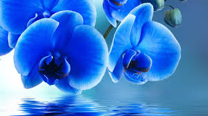 Blue Orchid Flower - flowers orchids blue orchid water beautiful beauty flowers