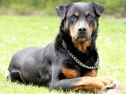 belgian shepherd x rottweiler german shepherd rottweiler mix u2013 breed info characteristics and