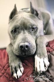 american pitbull terrier size chart best 20 bully breed ideas on pinterest