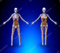 Human Anatomy Male Anatomy Male Female U2014 Stock Photo Decade3d 74659869