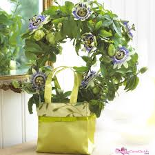 indoor vine passion flower indoors a perfect choice