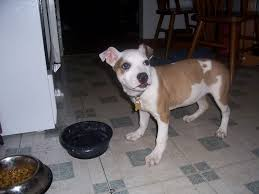 american pitbull terrier rottweiler mix chipit chihuahua american pit bull terrier mix info and pictures