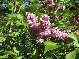 the world s tree species lilac tree or small shrub syringa vulgaris