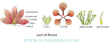 morphology of flowering plants class 11 notes download in pdf