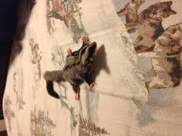 Gliders For Sale Sweet Sugar Gliders For Sale In Hoobly Classifieds