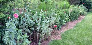 how to grow poppies in your garden today s homeowner