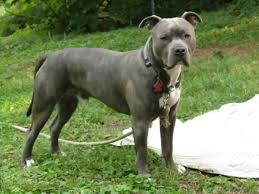 blue nose american pitbull terrier american pitbull terrier blue brindle dog and cat