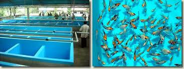 ornamental fish farm of mr pushpangadhan aquapress bleher