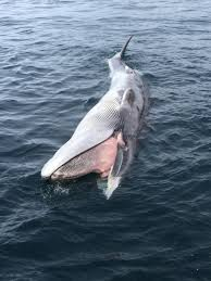 Whale by 2015 2016 Large Whale Unusual Mortality Event In The Western Gulf