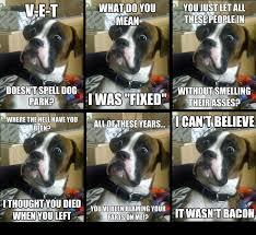 boxer dog meme small baffled boxer comp