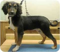 owning an afghan hound adella adopted puppy alden ia afghan hound mix