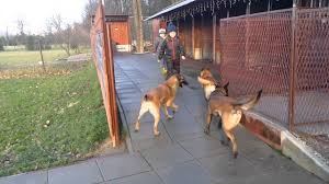 belgian shepherd kennels our malinois kennel u0026 our passion marshall dogs fci youtube