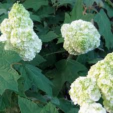 hydrangea gatsby moon white oakleaf hydrangea for sale at jp