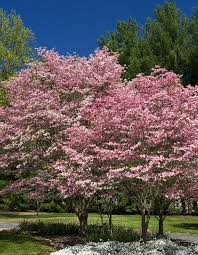 dogwood trees for sale lowest prices save 80 buy grower