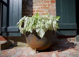 how to save caladium bulbs now for great garden color next year