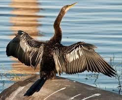 Florida Birds images I heart florida birds cormorants anhingas jpg