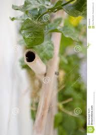 bamboo trellis jasmine vine stock photo image 83698302