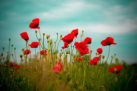 poppies flowers 3888x2592px 859887 poppies 4525 37 kb 01 07 2015 by weeboyz