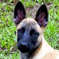 belgian shepherd breeders south africa south africa belgian malinois rescue u2015 adoptions u2015 rescueme org