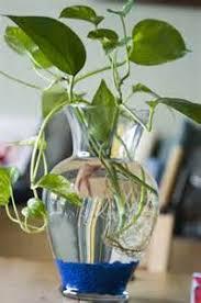 Betta Fish Vase With Bamboo Beta Fish With Plant Betta Fish Bowl Plants Betta Splendens