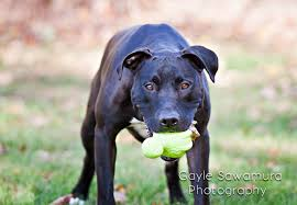 american pitbull terrier doberman mix gayle tales great pit bull dane