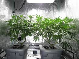 is it better to grow cannabis in soil or hydro grow weed easy