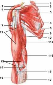 Shoulder And Arm Muscles Anatomy The Muscles Of The Shoulder Girdle Human Anatomy