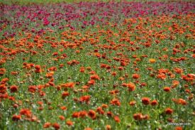 carlsbad flower garden my time at the carlsbad flower fields johnnyjet com