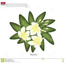 plumeria frangipanis a popular flower in kiribati stock vector