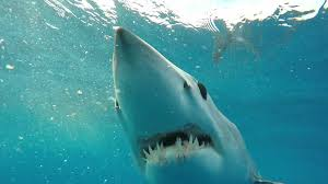 how to film the fastest shark in the ocean