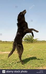 belgian sheepdog groenendael picture of a rearing purebred belgian sheepdog groenendael stock