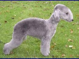 grooming a bedlington terrier puppy about dog bedlington terrier