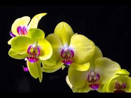 yellow orchid popular collection of yellow orchid flower pictures
