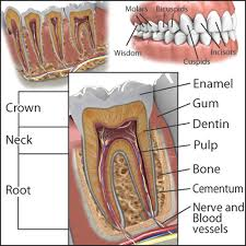 Human Dental Anatomy Tooth Anatomy An Overview Of Your Teeth Upper Bucks