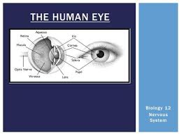Anatomy Of Human Eye Ppt Spook Fish Eyes How We See Eye Anatomy Nocturnal Eye Ppt Download