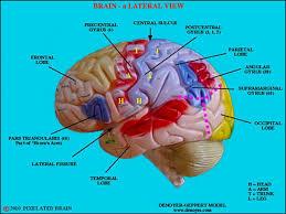 3d Head Anatomy Picture Of 3d Brain Model Label Picture Of 3d Brain Model Label