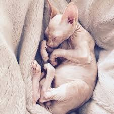 Hairless Cat Meme - the truth about owning a hairless cat funny