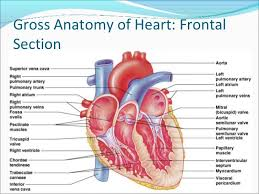 Heart Anatomy Arteries Anatomy Of The Heart And Its Functions My Lights