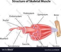 Cartoon Human Anatomy Cartoon Of Structure Skeletal Muscle Anatomy Vector Image