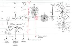 chandelier cells the cerebral cortex clinical gate