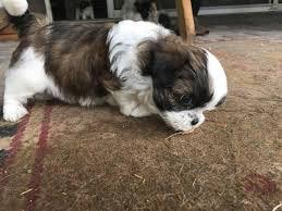 affenpinscher for sale ohio pinterest u0027teki 25 u0027den fazla en iyi shorkie puppies for sale fikri
