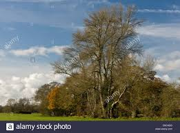 native hedgerow plants native black poplar populus nigra ssp betulifolia in hedgerow in