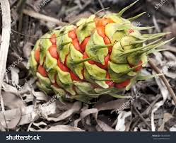 queensland native plants australiana female fruit cone ancient plant stock photo 180458390