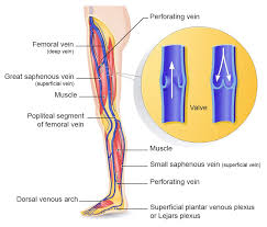 Anatomy Of A Foot Urgo Medical Anatomy Of The Normal Venous System In The Lower Limbs
