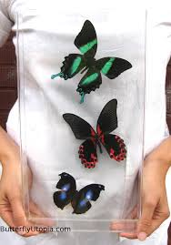 green blue u0026 red butterfly framed art pictures display