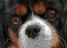 What Causes Dogs To Go Blind Separation Of The Inner Lining Of The Eye In Dogs Petmd